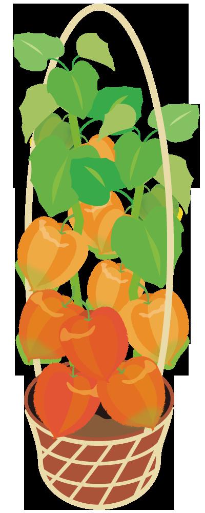 ホオズキ鉢植え